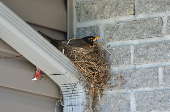 Птица свила гнездо 20110601