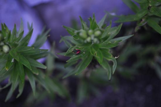 Красные жуки на  лилиях