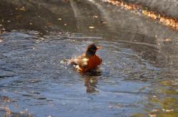 Птичка купается в бассейне