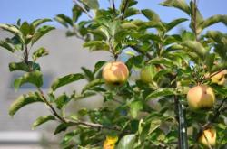 Яблоня во дворе