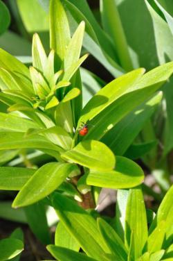 Lilioceris lilii - Красный жук