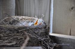 Птицы под патио 20100524-29-3