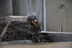 Птицы под патио 20100524-29-4