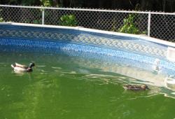 Утки в бассейне - 2