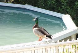 Утки в бассейне -  3